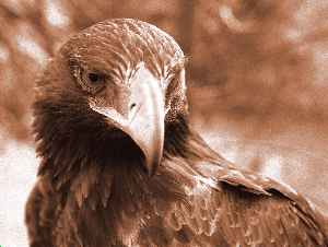 Wedge-tailed eagle by David Palmer